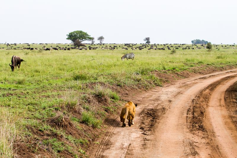 East African lionesses Panthera leo hunting in Serengeti. East African lionesses Panthera leo, genus Panthera, listed as vulnerable, with zebras Equus and blue royalty free stock photography