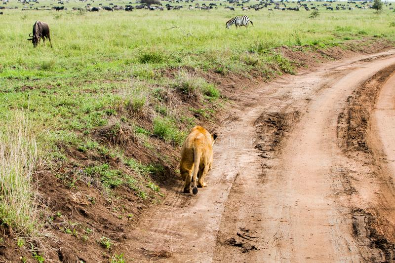 East African lionesses Panthera leo ready for hunting zebras and wilderbeests. East African lionesses Panthera leo, genus Panthera, listed as vulnerable stock photography