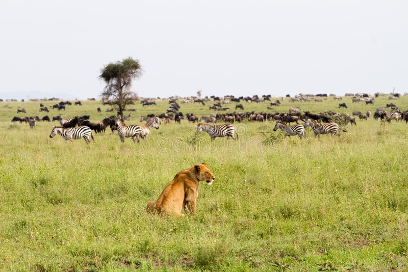 East African lionesses Panthera leo ready for hunting zebras and wilderbeests. East African lionesses Panthera leo, genus Panthera, listed as vulnerable stock image