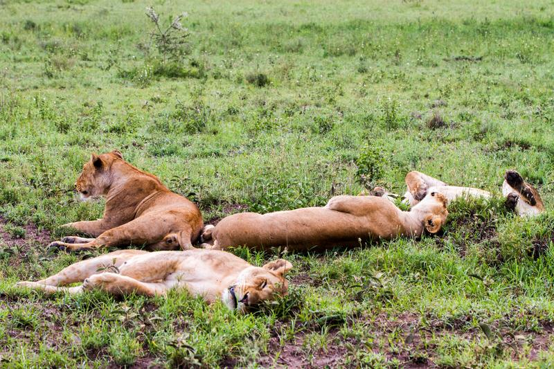 East African lionesses Panthera leo in the grass. East African lionesses Panthera leo, species in the family Felidae and a member of the genus Panthera, listed stock images