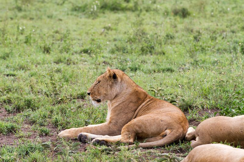 East African lionesses Panthera leo in the grass. East African lionesses Panthera leo, species in the family Felidae and a member of the genus Panthera, listed stock image