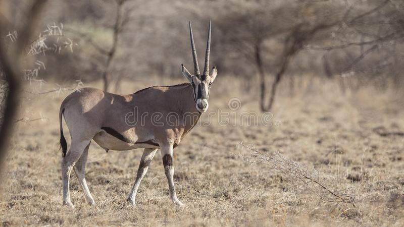East African Oryx in Nature stock photo