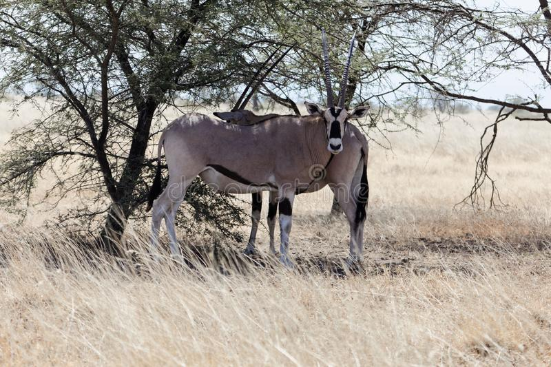 East African oryx Oryx beisa royalty free stock image