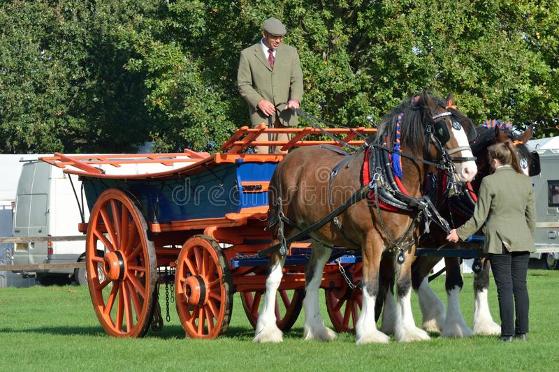 East Anglia Equestrian Fair pair of shire horses and cart in ring. IPSWICH SUFFOLK UK 25 October 2014: East Anglia Equestrian Fair pair of shire horses and cart stock photo