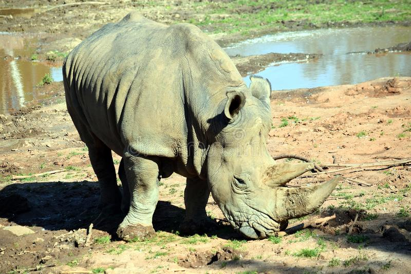 East Black Rhino Diceros Bicornis Michaeli Eating Grass stock afbeelding