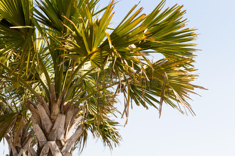 East Coast Palm Tree on Beach with sky Top Tight Crop at Myrtle Beach East Coast. Palm Tree Abstract close up view at myrtle beach boardwalk sky stock photo