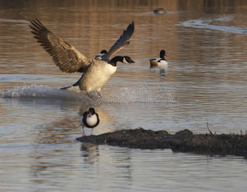 East Does It. This image was captured at Slimbridge WWT on a cold winter's morning stock photos