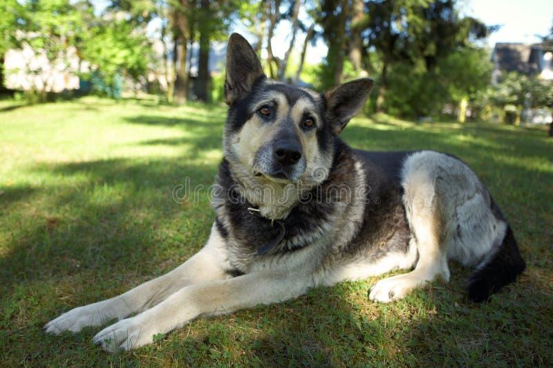 Download East European Shepherd Stock Image - Image: 5343841