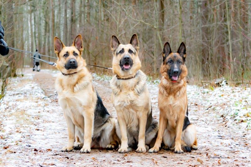 East European Shepherd and German Shepherd. royalty free stock photography