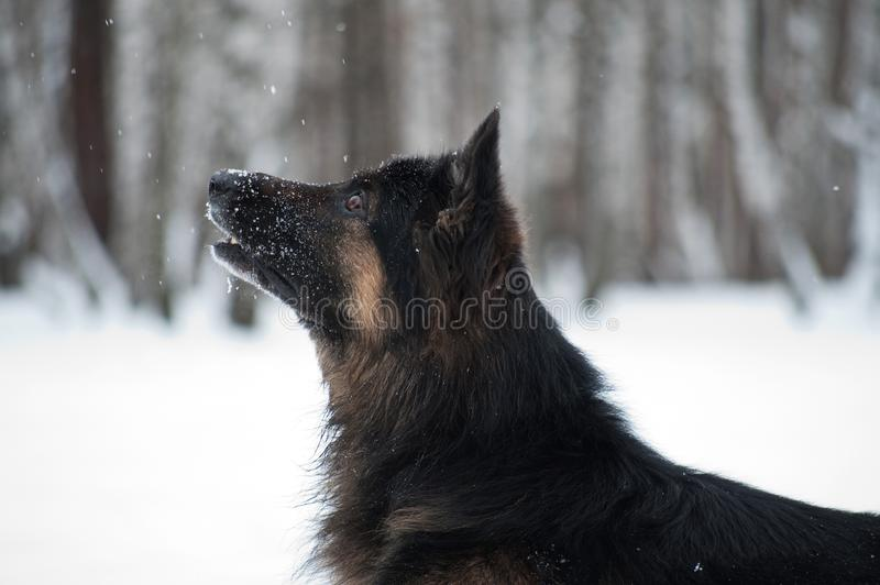 East European Shepherd playing in the snow royalty free stock photos