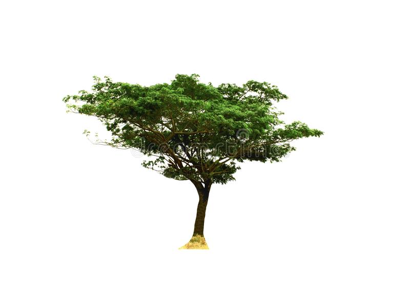 Single Rain Tree or silk tree or East Indian walnut tree isolated on white background. royalty free stock images