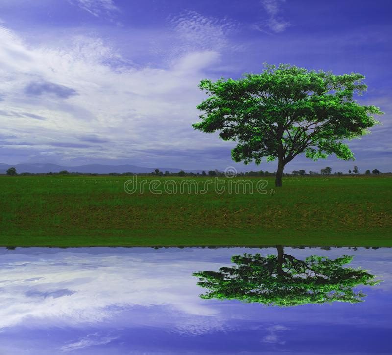East Indian walnut or silk tree against blue sky background in the countryside with water reflection, looks fresh and beautiful. Nature landscape, Rain Tree or stock photography