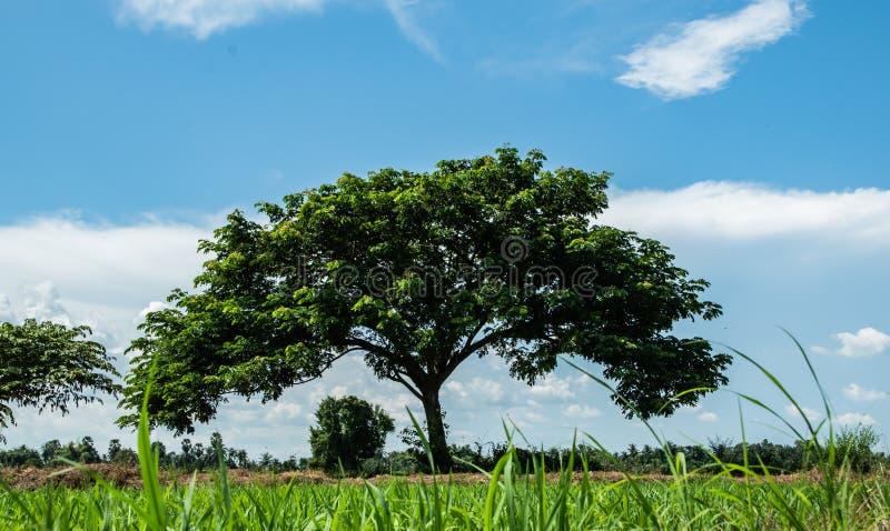 East Indian walnut or silk tree or rain tree and beautiful blue sky background, look like green umbrella.Earth day concept. Umbrella tree, East Indian walnut stock image