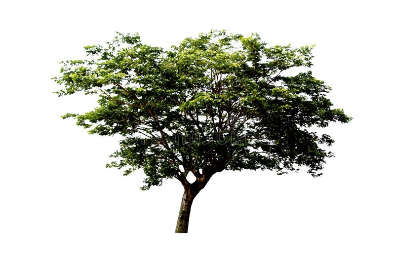 East indian walnut tree or Silk tree or Rain tree  isolated on white background. East indian walnut tree or Silk tree or Rain tree  isolated on white background royalty free stock images