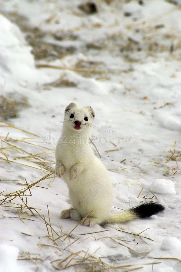 Free East Siberian Ermine In The Winter. Royalty Free Stock Photos - 9014028