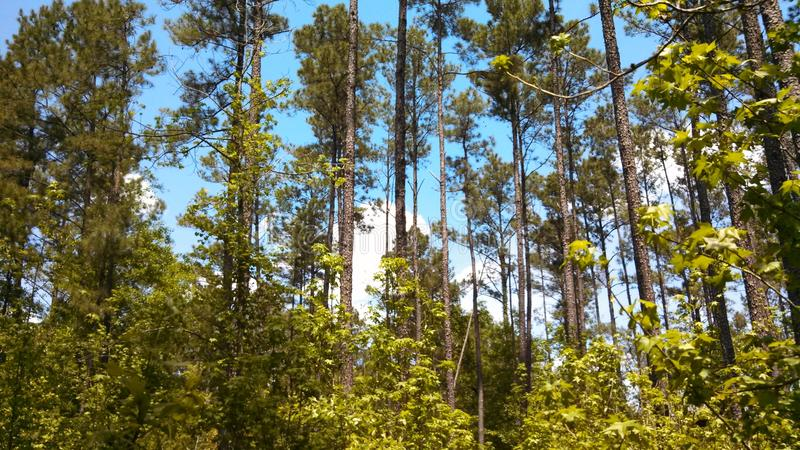 East Texas pine forest royalty free stock photos