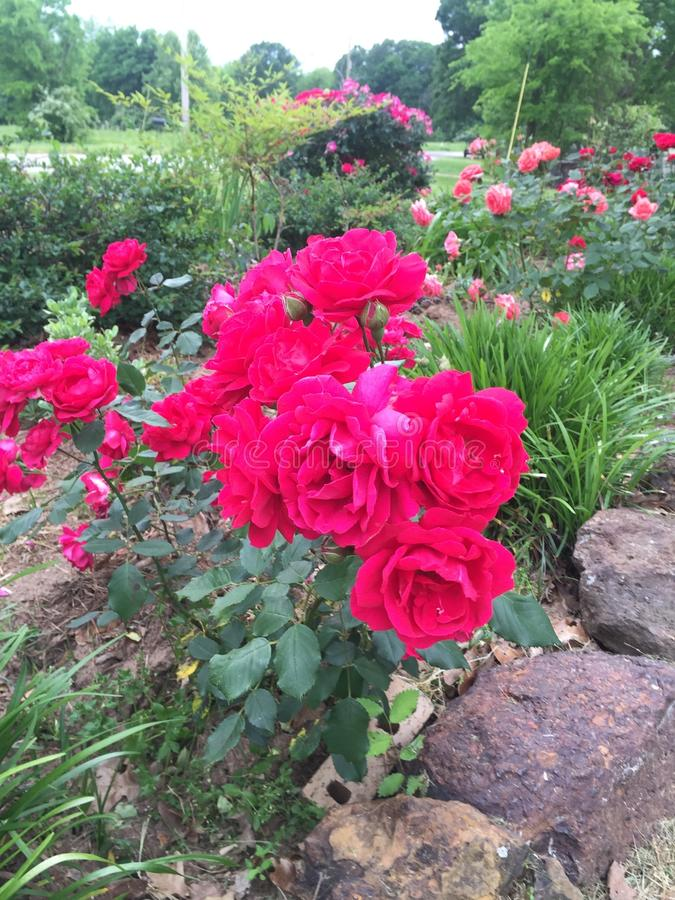 East Texas Rose Boolms of the Spring stock images