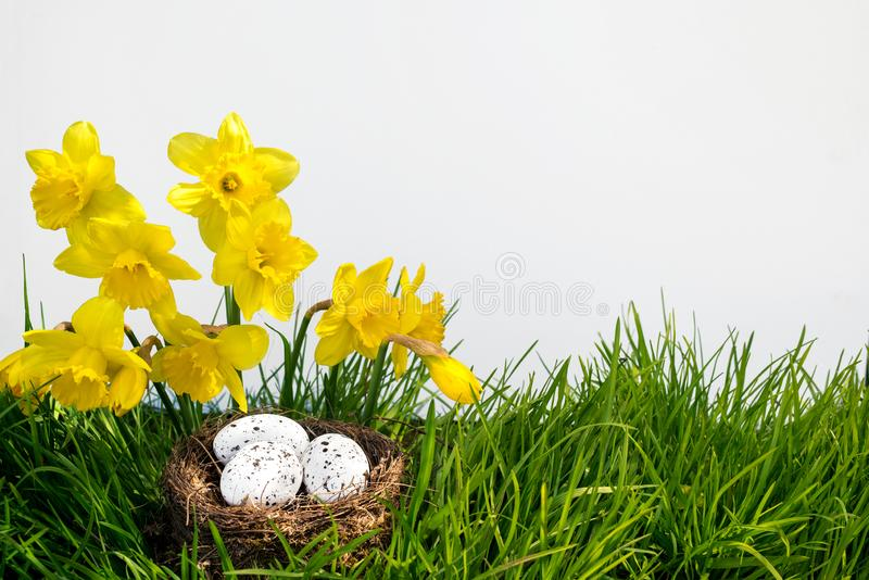 Easter background with blooming daffodils and spotted eggs in a nest over fresh green grass isolated on a white stock photography