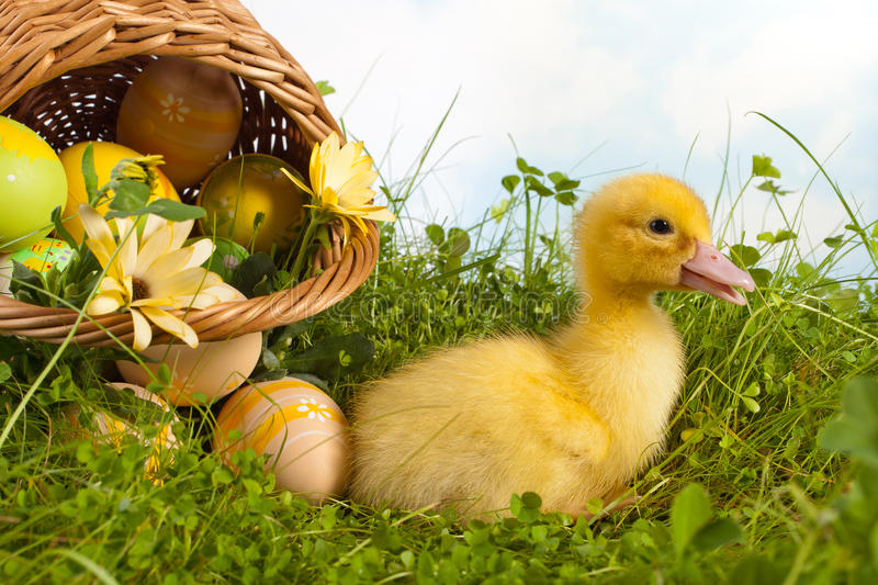 Easter basket with duckling. Yellow easter duckling in grass with a basket full of easter eggs royalty free stock photo