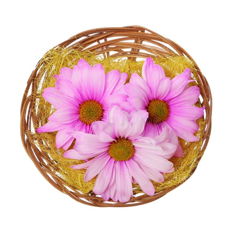 easter blommar i den isolerade korgen, hoade rosa chamomiles arkivbild