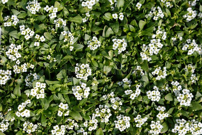 Easter Bonnet White Alyssum. Plants, nature background top view stock photography