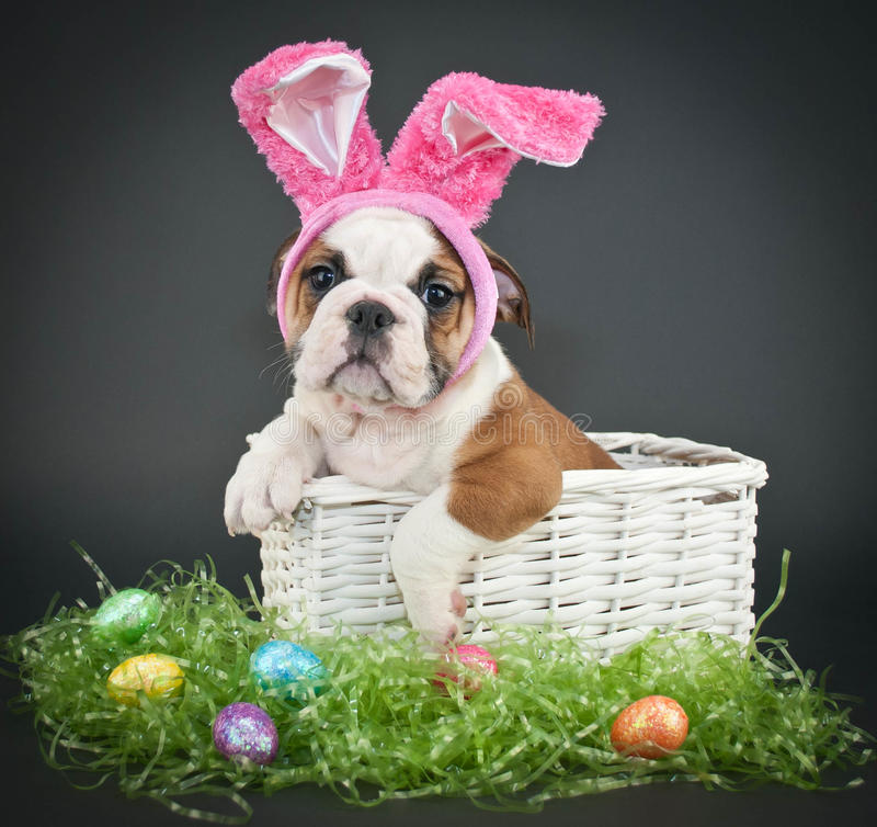 Easter Bulldog. Little Bulldog puppy sitting in a basket wearing Easter bunny ears on a black background stock photography