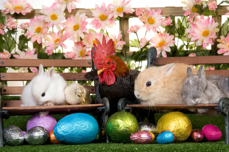 Easter bunnies and rooster royalty free stock photos