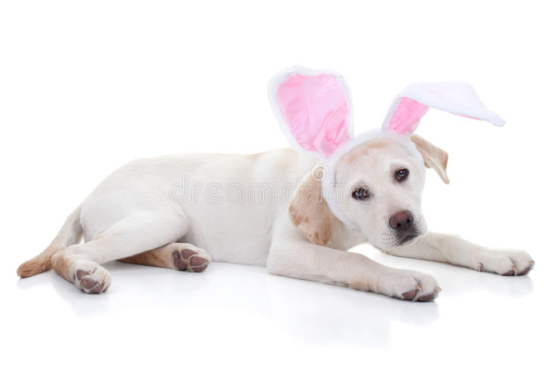 Easter Bunny. Easter puppy dog in bunny ears stock photo