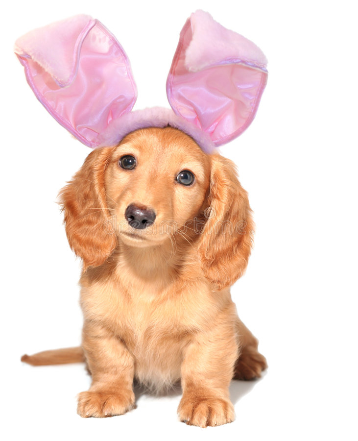 Easter bunny. Dachshund puppy, isolated on white royalty free stock photos