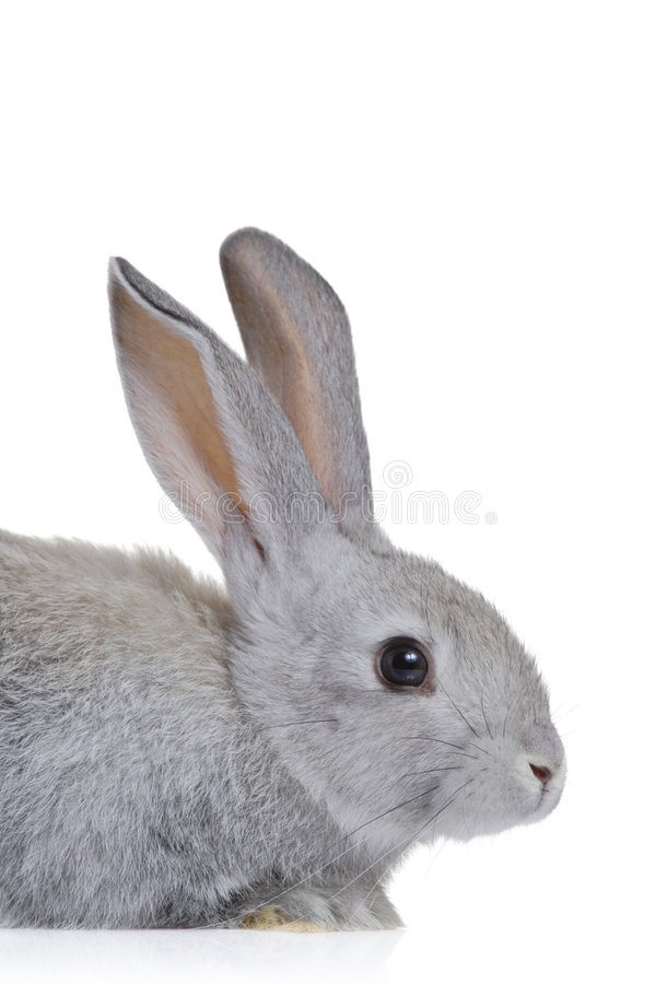 Easter bunny. Isolated on white background royalty free stock photos