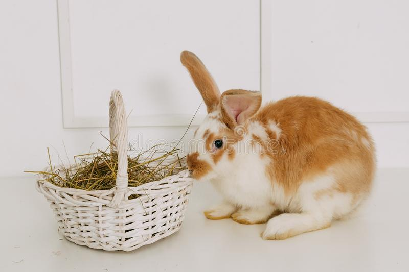 Easter Bunny in Basket. White Brick Wall Background. Shallow Depth of Field. Fluffy Brown. Copy Space royalty free stock photo