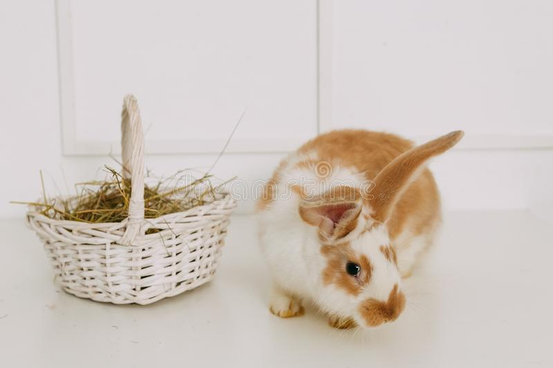 Easter Bunny in Basket. White Brick Wall Background. Shallow Depth of Field. Fluffy Brown. Copy Space royalty free stock image