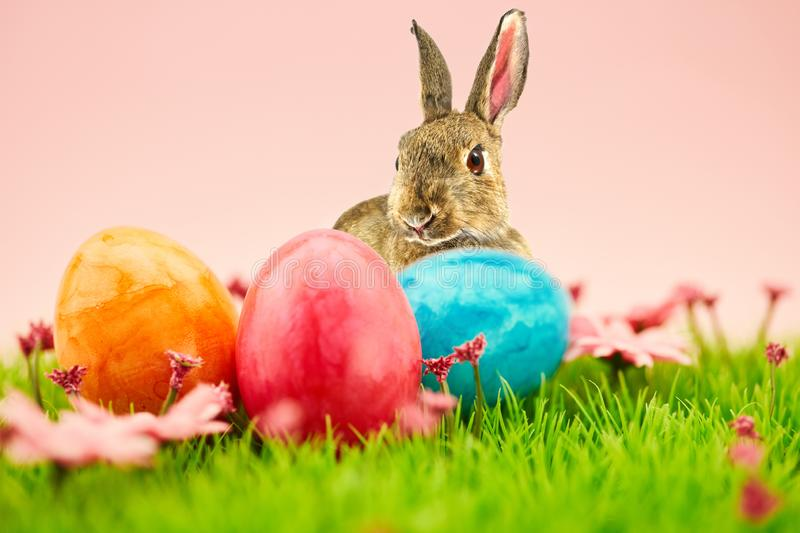 Easter bunny and easter eggs for Easter on meadow stock image