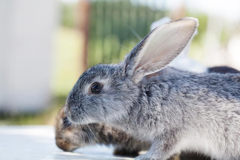 Easter bunny concept. Gray rabbit fluffy skin texture. soft focus, shallow depth of field, selective focus.  stock photography