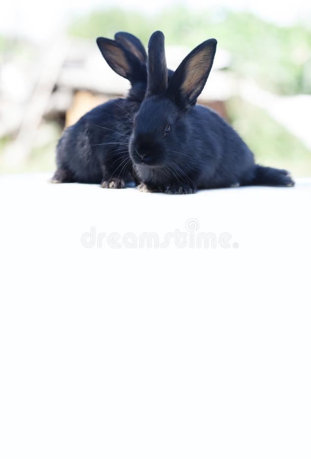 Easter bunny concept. Small cute black rabbits, fluffy pets on white background. soft focus, shallow depth of field royalty free stock image