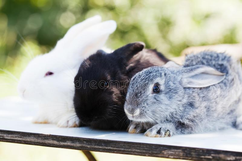 Easter bunny concept. 3 small cute gray black white rabbits, fluffy pets on white background. soft focus, shallow depth. Of field stock photos
