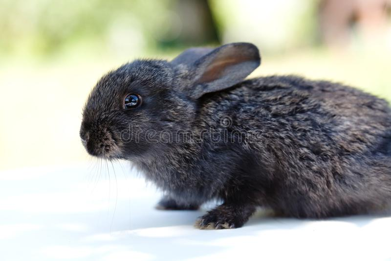 Easter bunny concept. Small cute rabbit, fluffy black pet. Easter bunny concept. Small cute rabbit, fluffy black pet royalty free stock photos