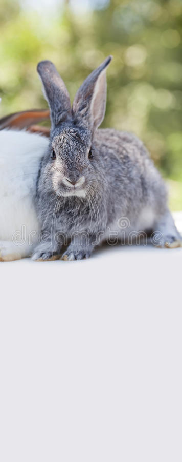 Easter bunny concept. Small cute rabbit, fluffy gray pet on white background. soft focus, shallow depth of field copy. Space stock photo