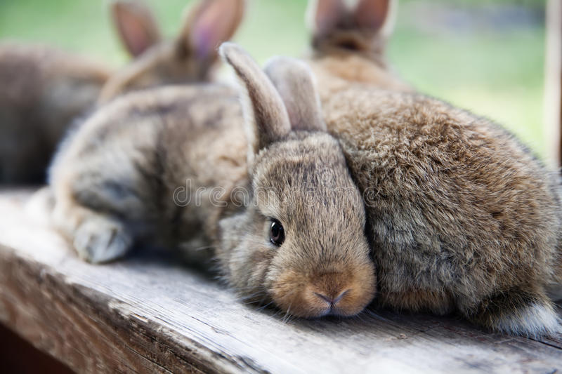 Easter bunny concept. Two fluffy brown rabbits, close-up, shallow depth of field, selective focus stock images