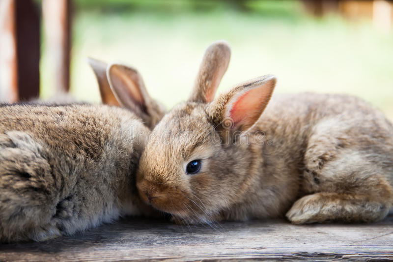 Easter bunny concept. Two fluffy rabbits, close-up, shallow depth of field, soft focus. stock photos