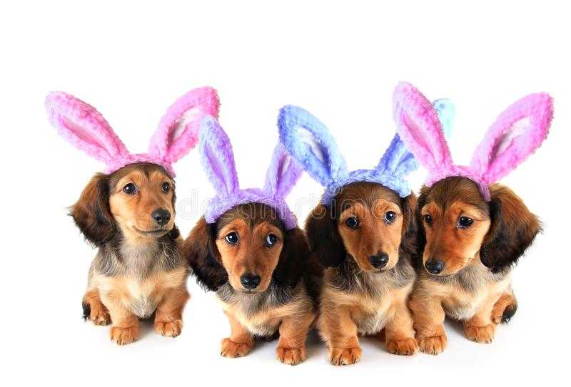 Easter bunny Dachshund puppies. Litter of longhair dachshund puppies wearing Easter bunny ears. Studio isolated on white stock photo