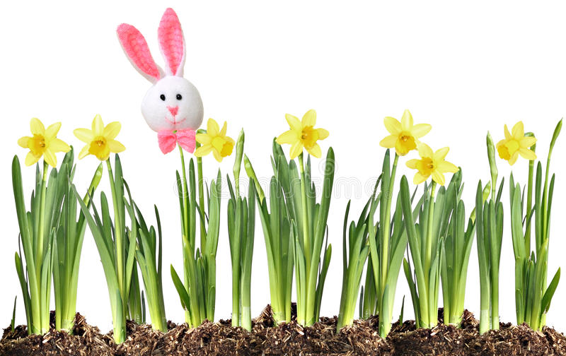 Easter bunny and Daffodils