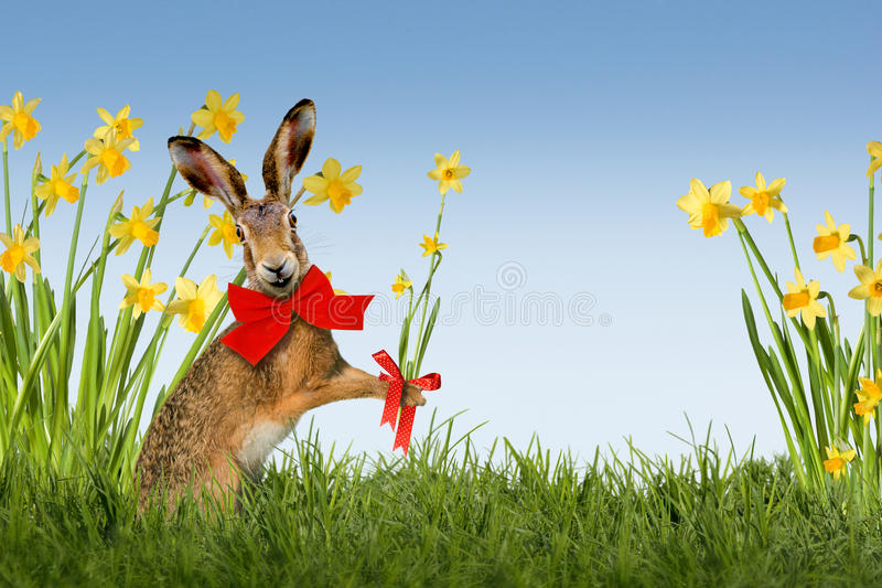Easter Bunny with daffodils. Easter bunny on green meadow with daffodils stock photos