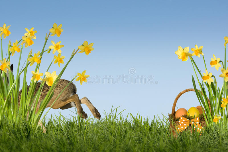 Easter Bunny with daffodils. Easter bunny on green meadow with daffodils royalty free stock photography