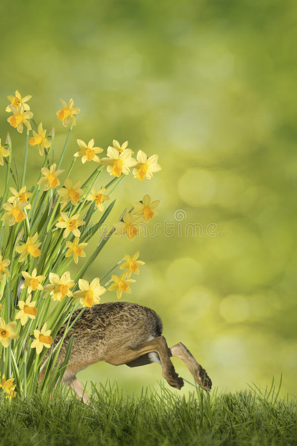 Easter Bunny with daffodils. Easter bunny on green meadow with daffodils on a green background royalty free stock photo