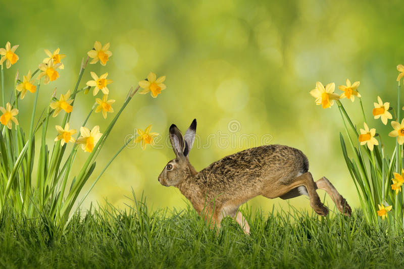 Easter Bunny with daffodils. Easter bunny on green meadow with daffodils on a green background royalty free stock photography