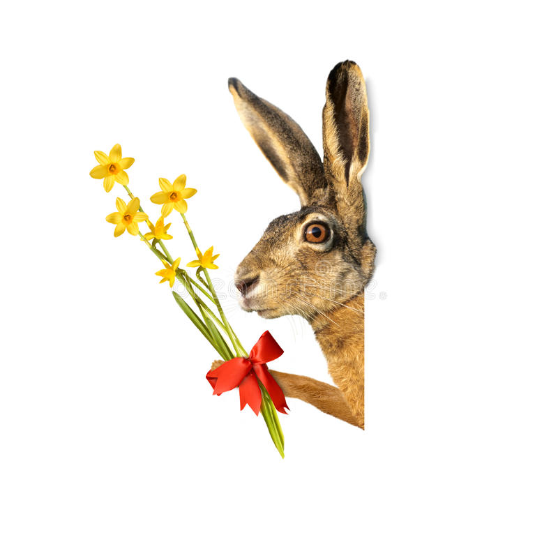 Easter bunny with daffodils,. Isolated on white background royalty free stock image