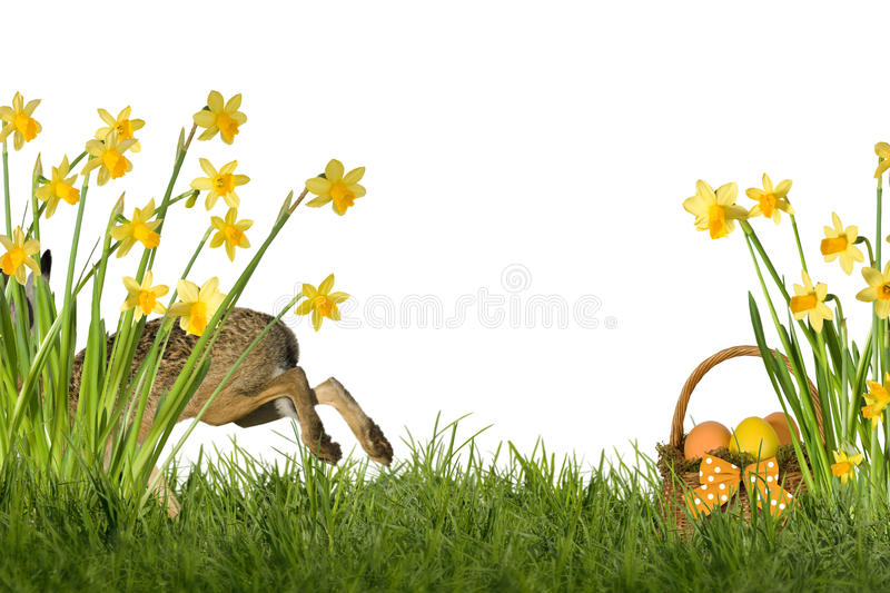 Easter Bunny with daffodils. Easter bunny on meadow with daffodils, optional on white background stock photography