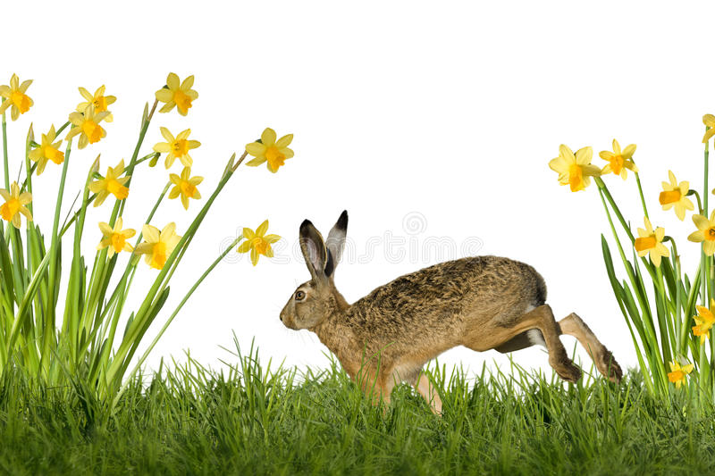 Easter Bunny with daffodils. Easter bunny on meadow with daffodils, optional on white background royalty free stock image