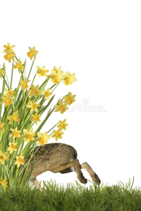 Easter Bunny with daffodils. Easter bunny on meadow with daffodils, optional on white background stock image